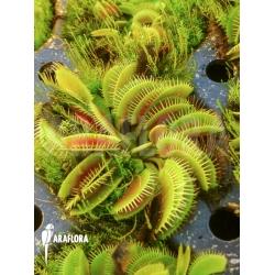 Dionaea muscipula 'Cluster traps' example