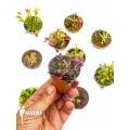 L'attrape-mouche de vénus Dionaea muscipula 'Collectors Package'