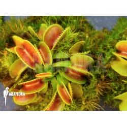 Dionaea muscipula 'Cracker' Starter