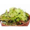 L'attrape-mouche de vénus 'Dionaea muscipula 'Crocodile' 'Starter'