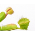 L'attrape-mouche de vénus Dionaea muscipula 'Cushion Pin'