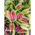 L'attrape-mouche de vénus 'Dionaea muscipula 'DS06''