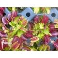L'attrape-mouche de vénus 'Dionaea muscipula 'Dingley giant' 'Starter'