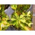 L'attrape-mouche de vénus Dionaea muscipula 'Double Trouble' starter