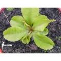 L'attrape-mouche de vénus 'Dionaea muscipula 'Dr Jos''