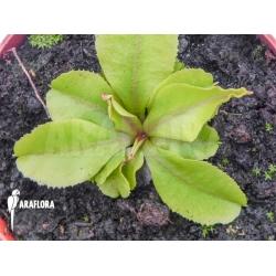 Dionaea muscipula 'Dr Jos'