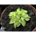 L'attrape-mouche de vénus 'Dionaea muscipula 'Dr no trap'