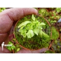L'attrape-mouche de vénus 'Dionaea muscipula 'Dr no trap' starter'