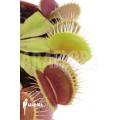 L'attrape-mouche de vénus 'Dionaea muscipula 'Flexx'