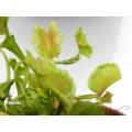 L'attrape-mouche de vénus 'Dionaea muscipula 'Freaky star'
