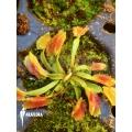 L'attrape-mouche de vénus 'Dionaea muscipula 'Freaky star' starter'