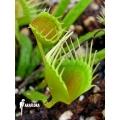 L'attrape-mouche de vénus 'Dionaea muscipula 'Funnel trap'