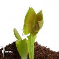 L'attrape-mouche de vénus 'Dionaea muscipula 'Fused tooth'