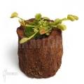 L'attrape-mouche de vénus 'Dionaea muscipula 'Fuzed tooth b'