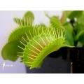 L'attrape-mouche de vénus 'Dionaea muscipula 'G16 slack'S giant'
