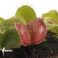 L'attrape-mouche de vénus 'Dionaea muscipula 'Galaxy'