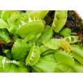L'attrape-mouche de vénus 'Dionaea muscipula 'Green dog'
