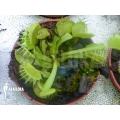 L'attrape-mouche de vénus 'Dionaea muscipula 'Green dog' 'M'
