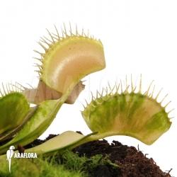 Dionaea muscipula 'Green snow'