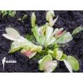 L'attrape-mouche de vénus 'Dionaea muscipula 'Green snow'