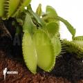 L'attrape-mouche de vénus 'Dionaea muscipula 'Green voodoo'