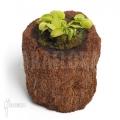 L'attrape-mouche de vénus 'Dionaea muscipula 'Green wizard'