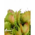 L'attrape-mouche de vénus 'Dionaea muscipula 'Gwenny''