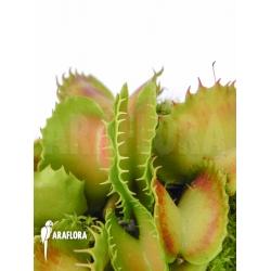 Dionaea muscipula 'Gwenny'