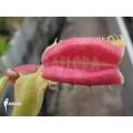 L'attrape-mouche de vénus 'Dionaea muscipula 'Hot kiss'