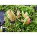 L'attrape-mouche de vénus 'Dionaea muscipula 'Hot kiss' 'Starter'