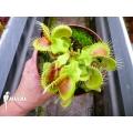 L'attrape-mouche de vénus 'Dionaea muscipula 'Hulk'