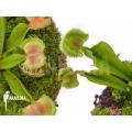 L'attrape-mouche de vénus 'Dionaea muscipula 'Intrudor vs Pom Pom''