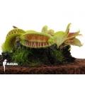 L'attrape-mouche de vénus 'Dionaea muscipula 'Jaws smiley'