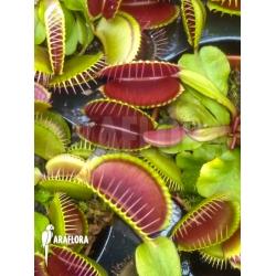 Dionaea muscipula Jumbo