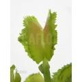 L'attrape-mouche de vénus 'Dionaea muscipula 'Kinky wave'