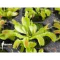 L'attrape-mouche de vénus Dionaea muscipula 'Korrigans' 'Starter'