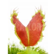 Flytraps L'attrape-mouche de Vénus