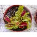 L'attrape-mouche de vénus Dionaea muscipula 'Louchapates'