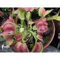 L'attrape-mouche de vénus 'Dionaea muscipula 'Love bite'