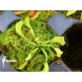 L'attrape-mouche de vénus 'Dionaea muscipula 'Mars' starter'