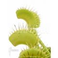L'attrape-mouche de vénus 'Dionaea muscipula 'No Meat''