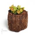 L'attrape-mouche de vénus 'Dionaea muscipula 'No dentist'