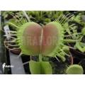 L'attrape-mouche de vénus 'Dionaea muscipula 'Opus delight'