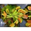L'attrape-mouche de vénus 'Dionaea muscipula Pacman starter'