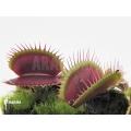 L'attrape-mouche de vénus 'Dionaea muscipula 'Poland red'
