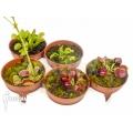 L'attrape-mouche de vénus Dionaea muscipula 'Rare Starter Package 5'