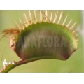 L'attrape-mouche de vénus 'Dionaea muscipula 'Red dragon'