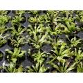 L'attrape-mouche de vénus 'Dionaea muscipula 'Red green'