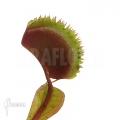 L'attrape-mouche de vénus 'Dionaea muscipula 'Red piranha'