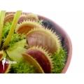 L'attrape-mouche de vénus 'Dionaea muscipula 'Shark teeth'
